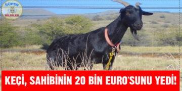 Keçi, sahibinin 20 Bin Euro'sunu yedi! 2