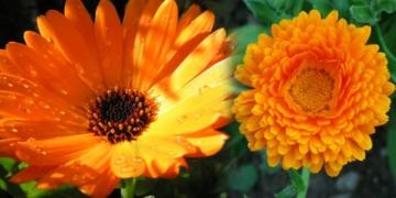 aynisefa bitkisinin faydalari nelerdir aynisefa bitkisi nerede yetisir wnd5jh88.jpg