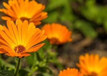 aynisefa nedir faydalari nelerdir aynisefa bitkisi nasil kullanilir x1qhjgka.jpg