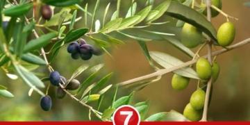 zeytin yapragi cayi faydalari nelerdir zeytin yapragi cayi nasil yapilir sofrcu5y.jpg