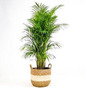 areka palmiyesi beyaz hasir saksili l areca dypsis lutescens 140 160cm dekoratif saksili bitkiler fidan burada 4924 13 b